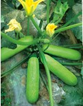 西葫芦种子——绿公主