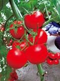 大果番茄种子——诺维亚